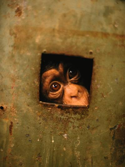 A Young Chimpanzee Held Captive in a Private Zoo in Monrovia-Michael Nichols-Photographic Print