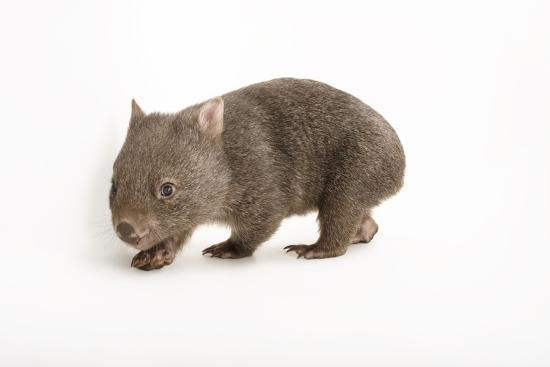 A Young Common Wombat, Vombatus Ursinus, at the Healesville Sanctuary-Joel Sartore-Photographic Print