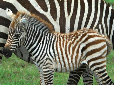 A Young Common Zebra, Equus Quagga, Next to its Mother-Kike Calvo-Photographic Print