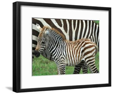 A Young Common Zebra, Equus Quagga, Next to its Mother-Kike Calvo-Framed Photographic Print