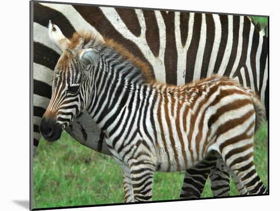 A Young Common Zebra, Equus Quagga, Next to its Mother-Kike Calvo-Mounted Photographic Print