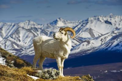 A Young Dall Sheep Ram Standing on Mount Margaret with the Alaska Range in the Background-Design Pics Inc-Photographic Print