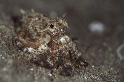 A Young Day Octopus on Black Volcanic Sand-Stocktrek Images-Photographic Print