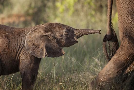 A Young Elephant Calf, Loxodonta African, Reaching Toward its Mother with its Tiny Trunk-Matthew Hood-Photographic Print