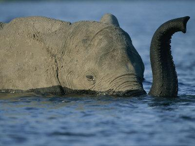 A Young Elephant Swims Across the Chobe River-Chris Johns-Photographic Print