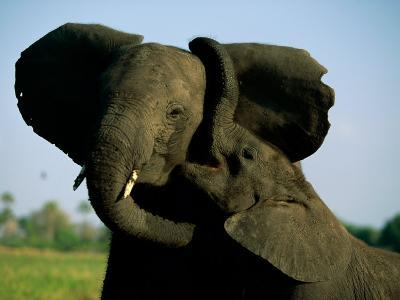 A Young Elephant Wraps its Trunk Around a Friend-Beverly Joubert-Photographic Print