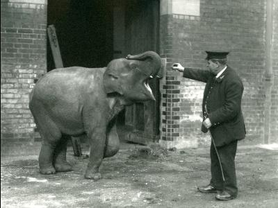 A Young Female Indian Elephant with Keeper H. Robertson, London Zoo, 22nd February 1922-Frederick William Bond-Photographic Print