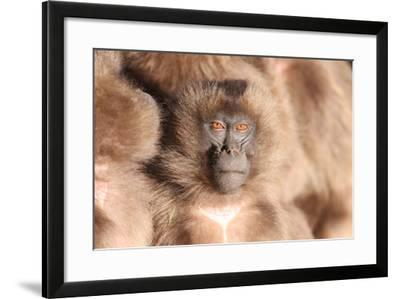 A Young Gelada Baboon, Theropithecus Gelada, Sitting with Another-Cagan Sekercioglu-Framed Photographic Print