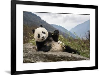 A young giant panda eating bamboo-Jak Wonderly-Framed Photographic Print