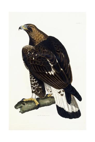 A Young Golden Eagle, 1841-Prideaux John Selby-Giclee Print