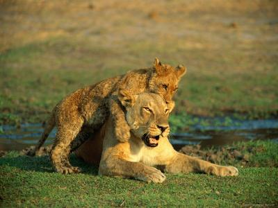 A Young Lion Climbs on the Back of its Mother-Beverly Joubert-Photographic Print