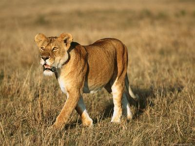 A Young Lion Crosses a Grassland-Norbert Rosing-Photographic Print