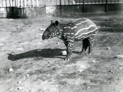 A Young Malayan Tapir at London Zoo, 5th October 1921-Frederick William Bond-Photographic Print