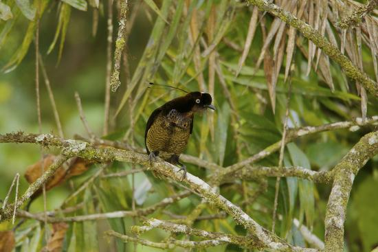 A Young Male Bronze Parotia Bird of Paradise in the Foja Mountains-Tim Laman-Photographic Print