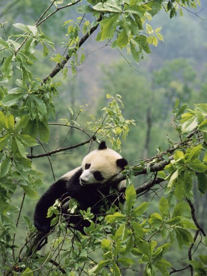 A Young Male Giant Panda, Ailuropoda Melanoleuca, Awaits its Mother-Lu Zhi-Photographic Print