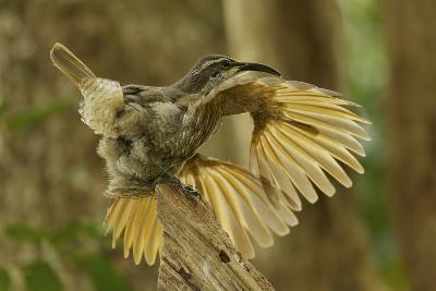 A Young Male Paradise Riflebird Performs a Practice Display-Tim Laman-Photographic Print