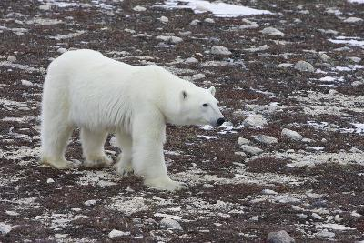 A Young Male Polar Bear Walks on Snow Spotted Arctic Tundra-Matthias Breiter-Photographic Print