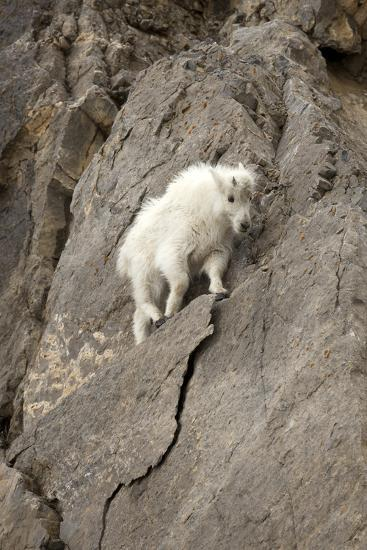 A Young Mountain Goat, Oreamnos Americanus, Moving Along a Rocky Ledge-Robbie George-Photographic Print