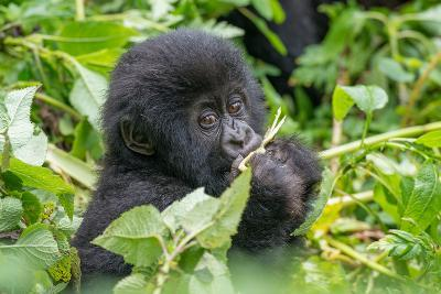 A Young Mountain Gorilla, Gorilla Beringei Beringei, Eating Leaves of Plants-Tom Murphy-Photographic Print