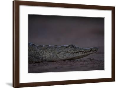 A Young Nile Crocodile, Crocodylus Niloticus, on Riverbed-Robin Moore-Framed Photographic Print