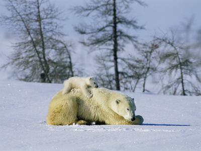 A Young Polar Bear Rests on the Back of its Mother-Norbert Rosing-Photographic Print