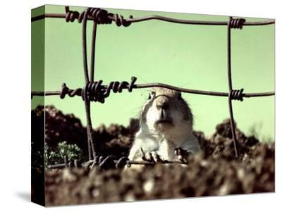 A Young Prairie Dog