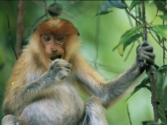 A Young Proboscis Monkey Eats a Piece of Fruit-Tim Laman-Photographic Print