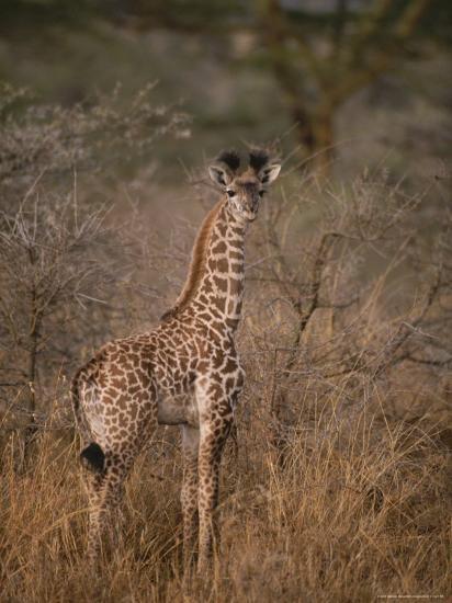 A Young Reticulated Giraffe, Giraffa Reticulata-Tim Laman-Photographic Print