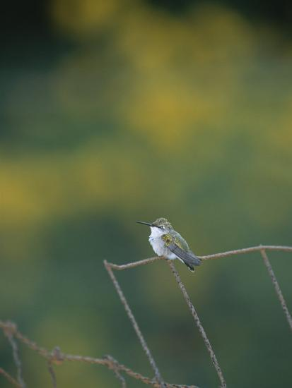 A Young Ruby-Throated Hummingbird on a Rusty Fence-Taylor S^ Kennedy-Photographic Print