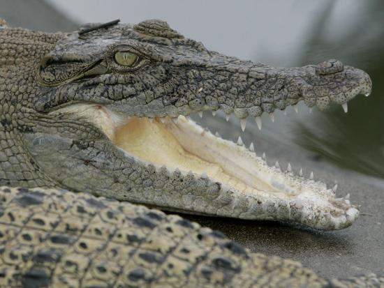 A Young Saltwater Crocodile--Photographic Print