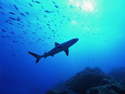 A Young Specimen of Gray Shark-Andrea Ferrari-Photographic Print