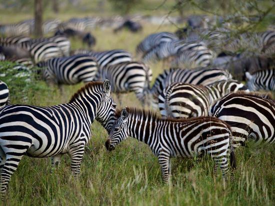 A Young Zebra Receives an Affectionate Nuzzle-Jim Richardson-Photographic Print