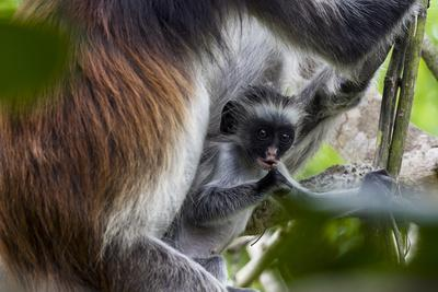 https://imgc.artprintimages.com/img/print/a-zanzibar-red-colobus-chewing-on-a-branch-in-a-coral-rag-forest-with-its-mother_u-l-pokl7b0.jpg?p=0