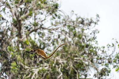 https://imgc.artprintimages.com/img/print/a-zanzibar-red-colobus-leaping-between-canopy-trees-in-a-coral-rag-forest_u-l-poky3i0.jpg?p=0