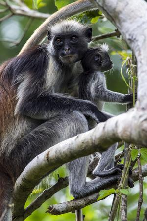 https://imgc.artprintimages.com/img/print/a-zanzibar-red-colobus-mother-and-infant-resting-in-the-canopy-of-a-coral-rag-forest_u-l-pok8s80.jpg?p=0