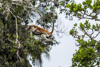 https://imgc.artprintimages.com/img/print/a-zanzibar-red-colobus-mother-leaps-between-canopy-trees-with-her-baby-in-a-coral-rag-forest_u-l-pokxd90.jpg?p=0