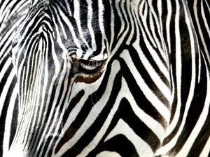A Zebra at the Frankfurt Zoo