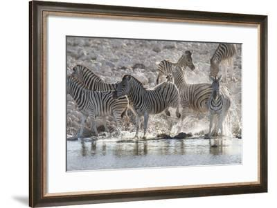 A Zebra Defends its Place at the Waterhole by Bucking its Hind Legs-Matthew Hood-Framed Photographic Print