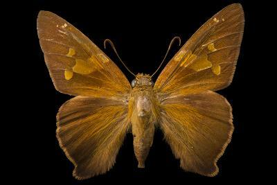 A Zesto's Skipper Mounted on a Pin at the Mcguire Center for Lepidoptera and Biodiversity-Joel Sartore-Photographic Print