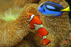 Clownfish and Regal Tang by Aamir Yunus