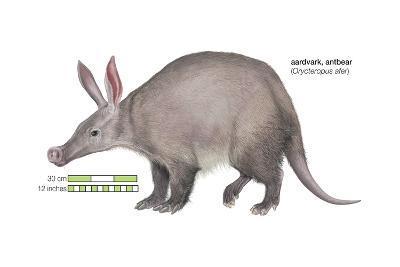Aardvark or Antbear (Orycteropus Afer), Mammals-Encyclopaedia Britannica-Art Print