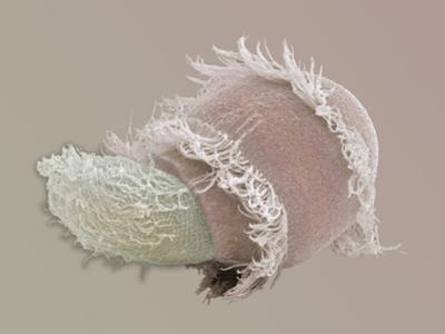 Didinium, Didinium Nasutum, Is a Predatory Protozoan, it Eats Other Protozoans by Aaron Bell