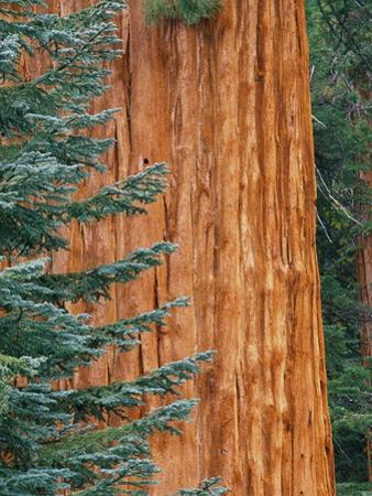 Evergreen and Sequoia Tree Trunk