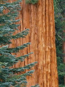 Evergreen and Sequoia Tree Trunk by Aaron Horowitz