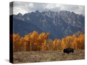 A Buffalo Grazing in Grand Teton National Park by Aaron Huey