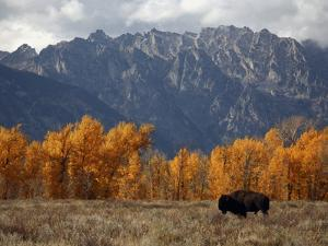 A Buffalo Grazing in Grand Teton National Park by Aaron Huey