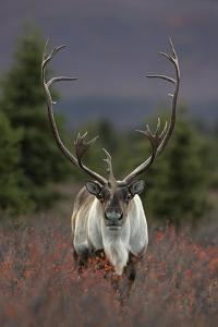 A Caribou in Denali National Park by Aaron Huey