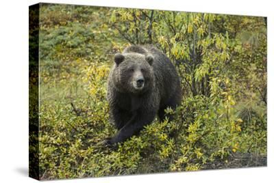 A Grizzly Bear in Denali National Park and Preserve