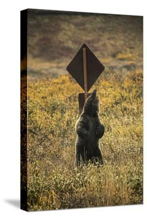 A Grizzly Bear Scratches its Back on a Sign Post in Denali National Park and Preserve
