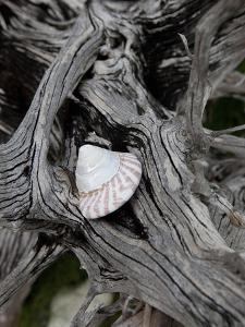 A Shell Nestled on Driftwood by Aaron Huey